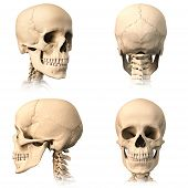 pic of orthogonal  - Very detailed and scientifically correct human skull - JPG