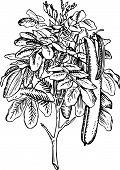 Plant ceratonia siliqua