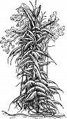 Plant calamus