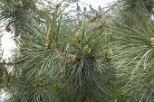 Yellow Pine, European Conifer Close-up. Kidneys Pine Cones Needles Yellow European Pine. Branches Of poster