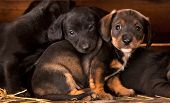 Dachshund puppies 3 weeks old purebred over wooden  background
