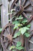 Old Wooden Wagon Wheels And Green Leaves