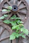 Old Wooden Wagon Wheels And Green Plantlet