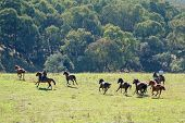 Horseback Riders Herding Galloping Wild Horses In A Stunningly Beautiful Australian Landscape poster