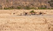 Herd Of Impala Drinking Water