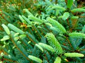 Blue Spruce Twig. Fir Tree Or Spruce Buds. Young Green Sprouts Fir Tree Twig Needles. Fresh Growing  poster