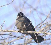 Jackdaw (Coloeus Monedula) Sitting On Tree Branch
