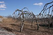 Barren Orchard