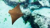 Close-up Photo Of A Young Sting Ray Swimming In The Shallow Water Of The Bahamas. poster