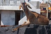 Brown Funny Goat On The Black Stone