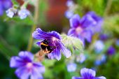 Bee Collecting Pollen From Plants And Flowers. Bumble Bee Or Honey Bee In A Natural Garden Habitat poster