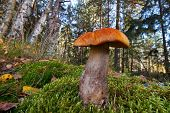picture of bolete  - Orange birch bolete mushroom leccinum versipelle in forest landscape - JPG