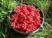 harvest of red schizandra in bucket