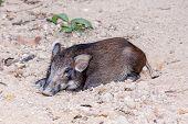 Black Wild Boar