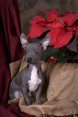 Chihuahua Puppy In Christmas Setting