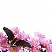 Papilio rumanzovia  on the flowers