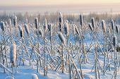 stock photo of cattail  - Winter landscape - JPG