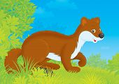 pic of ermine  - Friendly smiling brown stoat in a forest - JPG