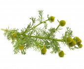 Wild Chamomile (Pineappleweed) Isolated On White Background