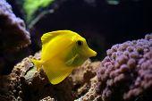 Tropical Fish (Zebrasoma Flavescens)