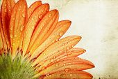 Vintage photo of  gerbera daisy flower with water drops