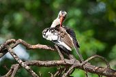 Western Red-billed Hornbill Preening