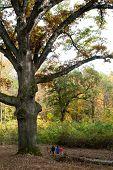 Large 550-year-old Oak Tree
