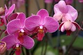 Trio Of Pink Moth Orchids