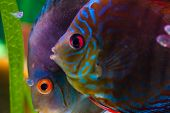 stock photo of aquatic animal  - Colorful tropical fish - JPG