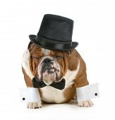 funny dog - grumpy looking bulldog dressed up in a tophat and black tie isolated on white background