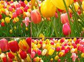Tulip Collage Greeting Card