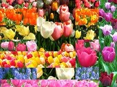 Cartão tulipa Collage