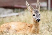 Close Up Of A Roe Deer Fawn