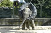 image of tire swing  - baby elephant playing with a tire swing - JPG