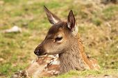 Red Deer Calf, Cervus Elaphus
