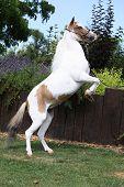American Miniature Horse Prancing