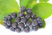 Purple Chokeberry (Aronia melanocarpa)