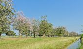 stock photo of lapacho  - Scenery Green Field With Pink Trumpet Blossom - JPG
