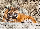pic of bobcat  - bobcat  - JPG