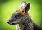 stock photo of wallabies  - Beautiful agile wallaby  - JPG