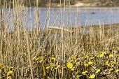 Tussilago Farfara, National Park Zuid Kennemerland, The Netherlands