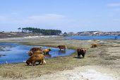 stock photo of highland-cattle  - View of Cattle scottish Highlanders Zuid Kennemerland Netherlands - JPG