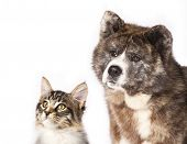 foto of coon dog  - Akita inu  and cat breeds Maine Coon - JPG