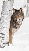 Grey Wolf (Canis lupus) Peeks From Behind Birch Tree