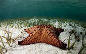 Cushion Sea Star Portrait