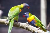 stock photo of lorikeets  - Two Rainbow Lorikeets perched on a Branch - JPG