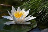 stock photo of day-lilies  - Water lily floating on lake - JPG