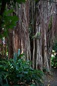Strangler Fig Vines On A Tree