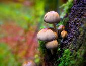 Psilocybe mushrooms in a beech tree trunk at Irati Navarra Pyrenees of Spain