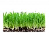 sprouts of green wheat grass on white background